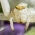 Geltonasis žiedvoris - Misumena vatia    Fotografijos autorius : Oskaras Venckus   © Macrogamta.lt   Šis tinklapis priklauso bendruomenei kuri domisi makro fotografija ir fotografuoja gyvąjį makro pasaulį.