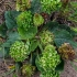 Plačialapis gyslotis - Plantago major | Fotografijos autorius : Oskaras Venckus | © Macrogamta.lt | Šis tinklapis priklauso bendruomenei kuri domisi makro fotografija ir fotografuoja gyvąjį makro pasaulį.