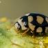 Keturiolikataškė boružė - Coccinula quatuordecimpustulata | Fotografijos autorius : Oskaras Venckus | © Macrogamta.lt | Šis tinklapis priklauso bendruomenei kuri domisi makro fotografija ir fotografuoja gyvąjį makro pasaulį.