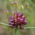 Laukinis česnakas - Allium oleraceum | Fotografijos autorius : Oskaras Venckus | © Macrogamta.lt | Šis tinklapis priklauso bendruomenei kuri domisi makro fotografija ir fotografuoja gyvąjį makro pasaulį.