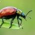 Mėtinis puošnys - Chrysolina polita | Fotografijos autorius : Oskaras Venckus | © Macrogamta.lt | Šis tinklapis priklauso bendruomenei kuri domisi makro fotografija ir fotografuoja gyvąjį makro pasaulį.