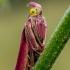 Liucerninis siaurasparnis ugniukas - Oncocera semirubella | Fotografijos autorius : Oskaras Venckus | © Macrogamta.lt | Šis tinklapis priklauso bendruomenei kuri domisi makro fotografija ir fotografuoja gyvąjį makro pasaulį.