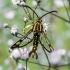 Rūgštyninis stiklasparnis - Synansphecia triannuliformis | Fotografijos autorius : Oskaras Venckus | © Macrogamta.lt | Šis tinklapis priklauso bendruomenei kuri domisi makro fotografija ir fotografuoja gyvąjį makro pasaulį.