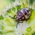 Rausvasparnė skydblakė - Carpocoris purpureipennis, nimfa    Fotografijos autorius : Oskaras Venckus   © Macrogamta.lt   Šis tinklapis priklauso bendruomenei kuri domisi makro fotografija ir fotografuoja gyvąjį makro pasaulį.