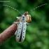 Dešimtdėmis drebulenis - Saperda perforata | Fotografijos autorius : Oskaras Venckus | © Macrogamta.lt | Šis tinklapis priklauso bendruomenei kuri domisi makro fotografija ir fotografuoja gyvąjį makro pasaulį.