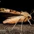 Smailiakampis pelėdgalvis - Phlogophora meticulosa | Fotografijos autorius : Oskaras Venckus | © Macrogamta.lt | Šis tinklapis priklauso bendruomenei kuri domisi makro fotografija ir fotografuoja gyvąjį makro pasaulį.