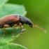 Ilgasis lapinukas - Phyllobius oblongus   | Fotografijos autorius : Oskaras Venckus | © Macrogamta.lt | Šis tinklapis priklauso bendruomenei kuri domisi makro fotografija ir fotografuoja gyvąjį makro pasaulį.