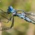 Strėliukė - Lestes sp.  | Fotografijos autorius : Oskaras Venckus | © Macrogamta.lt | Šis tinklapis priklauso bendruomenei kuri domisi makro fotografija ir fotografuoja gyvąjį makro pasaulį.