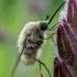 Zvimbeklė - Bombylius posticus | Fotografijos autorius : Oskaras Venckus | © Macrogamta.lt | Šis tinklapis priklauso bendruomenei kuri domisi makro fotografija ir fotografuoja gyvąjį makro pasaulį.