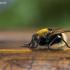 Tikramusė - Mesembrina mystacea | Fotografijos autorius : Zita Gasiūnaitė | © Macrogamta.lt | Šis tinklapis priklauso bendruomenei kuri domisi makro fotografija ir fotografuoja gyvąjį makro pasaulį.