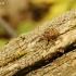 Gilinis vaisiastraublis - Curculio glandium | Fotografijos autorius : Giedrius Markevičius | © Macrogamta.lt | Šis tinklapis priklauso bendruomenei kuri domisi makro fotografija ir fotografuoja gyvąjį makro pasaulį.