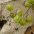 Gumbavapsvė - Neuroterus quercusbaccarum, galai | Fotografijos autorius : Eglė (Černevičiūtė) Vičiuvienė | © Macrogamta.lt | Šis tinklapis priklauso bendruomenei kuri domisi makro fotografija ir fotografuoja gyvąjį makro pasaulį.