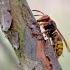 Širšuolas - Vespa crabro | Fotografijos autorius : Povilas Sakalauskas | © Macrogamta.lt | Šis tinklapis priklauso bendruomenei kuri domisi makro fotografija ir fotografuoja gyvąjį makro pasaulį.
