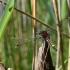Šarvuotoji skėtė - Leucorrhinia pectoralis, patinas | Fotografijos autorius : Povilas Sakalauskas | © Macrogamta.lt | Šis tinklapis priklauso bendruomenei kuri domisi makro fotografija ir fotografuoja gyvąjį makro pasaulį.