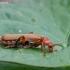 Minkštavabalis - Cantharis pallida | Fotografijos autorius : Žilvinas Pūtys | © Macrogamta.lt | Šis tinklapis priklauso bendruomenei kuri domisi makro fotografija ir fotografuoja gyvąjį makro pasaulį.