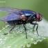 Tikramusė - Eudasyphora cyanicolor ♀ | Fotografijos autorius : Žilvinas Pūtys | © Macrogamta.lt | Šis tinklapis priklauso bendruomenei kuri domisi makro fotografija ir fotografuoja gyvąjį makro pasaulį.
