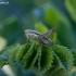 Paprastasis spragtukas - Metrioptera roeselii ♀, nimfa | Fotografijos autorius : Žilvinas Pūtys | © Macrogamta.lt | Šis tinklapis priklauso bendruomenei kuri domisi makro fotografija ir fotografuoja gyvąjį makro pasaulį.
