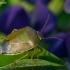 Dvispalvė skydblakė - Piezodorus lituratus | Fotografijos autorius : Žilvinas Pūtys | © Macrogamta.lt | Šis tinklapis priklauso bendruomenei kuri domisi makro fotografija ir fotografuoja gyvąjį makro pasaulį.