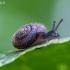 Šeriuotoji rūdė - Pseudotrichia rubiginosa | Fotografijos autorius : Žilvinas Pūtys | © Macrogamta.lt | Šis tinklapis priklauso bendruomenei kuri domisi makro fotografija ir fotografuoja gyvąjį makro pasaulį.