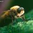 Pentinuotė - Thereva sp. | Fotografijos autorius : Žilvinas Pūtys | © Macrogamta.lt | Šis tinklapis priklauso bendruomenei kuri domisi makro fotografija ir fotografuoja gyvąjį makro pasaulį.