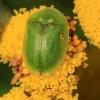 Rausvasis skydinukas - Cassida sanguinolenta   Fotografijos autorius : Ramunė Vakarė   © Macrogamta.lt   Šis tinklapis priklauso bendruomenei kuri domisi makro fotografija ir fotografuoja gyvąjį makro pasaulį.