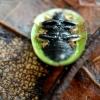 Varnalėšinis skydinukas - Cassida rubiginosa | Fotografijos autorius : Ramunė Vakarė | © Macrogamta.lt | Šis tinklapis priklauso bendruomenei kuri domisi makro fotografija ir fotografuoja gyvąjį makro pasaulį.