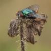 Žalioji lavonmusė - Lucilia silvarum ♀ | Fotografijos autorius : Žilvinas Pūtys | © Macrogamta.lt | Šis tinklapis priklauso bendruomenei kuri domisi makro fotografija ir fotografuoja gyvąjį makro pasaulį.