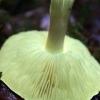 Geltonasis baltikas - Tricholoma sulphureum   Fotografijos autorius : Ramunė Vakarė   © Macrogamta.lt   Šis tinklapis priklauso bendruomenei kuri domisi makro fotografija ir fotografuoja gyvąjį makro pasaulį.