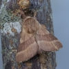 Žieduotasis verpikas – Malacosoma neustria | Fotografijos autorius : Giedrius Markevičius | © Macrogamta.lt | Šis tinklapis priklauso bendruomenei kuri domisi makro fotografija ir fotografuoja gyvąjį makro pasaulį.