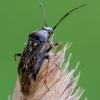 Žolblakė - Lygus gemellatus   Fotografijos autorius : Darius Baužys   © Macrogamta.lt   Šis tinklapis priklauso bendruomenei kuri domisi makro fotografija ir fotografuoja gyvąjį makro pasaulį.