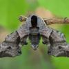 Akiuotasis sfinksas - Smerinthus ocellatus | Fotografijos autorius : Žilvinas Pūtys | © Macrogamta.lt | Šis tinklapis priklauso bendruomenei kuri domisi makro fotografija ir fotografuoja gyvąjį makro pasaulį.