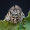 Ankstyvasis pūkanugaris - Achlya flavicornis | Fotografijos autorius : Žilvinas Pūtys | © Macrogamta.lt | Šis tinklapis priklauso bendruomenei kuri domisi makro fotografija ir fotografuoja gyvąjį makro pasaulį.