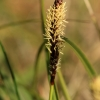 Ankstyvoji viksva - Carex caryophyllea | Fotografijos autorius : Ramunė Vakarė | © Macrogamta.lt | Šis tinklapis priklauso bendruomenei kuri domisi makro fotografija ir fotografuoja gyvąjį makro pasaulį.