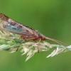 Apsiuva - Limnephilus flavicornis ♂ | Fotografijos autorius : Gintautas Steiblys | © Macrogamta.lt | Šis tinklapis priklauso bendruomenei kuri domisi makro fotografija ir fotografuoja gyvąjį makro pasaulį.