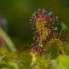 Apskitalapė saulašarė - Drosera rotundifolia | Fotografijos autorius : Dalia Račkauskaitė | © Macrogamta.lt | Šis tinklapis priklauso bendruomenei kuri domisi makro fotografija ir fotografuoja gyvąjį makro pasaulį.