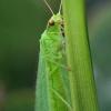 Auksaakė - Chrysopa sp. | Fotografijos autorius : Vidas Brazauskas | © Macrogamta.lt | Šis tinklapis priklauso bendruomenei kuri domisi makro fotografija ir fotografuoja gyvąjį makro pasaulį.