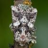 Baltamargis sėklinukas - Hadena confusa | Fotografijos autorius : Žilvinas Pūtys | © Macrogamta.lt | Šis tinklapis priklauso bendruomenei kuri domisi makro fotografija ir fotografuoja gyvąjį makro pasaulį.