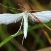 Baltasis pirštasparnis - Pterophorus pentadactyla   Fotografijos autorius : Ramunė Vakarė   © Macrogamta.lt   Šis tinklapis priklauso bendruomenei kuri domisi makro fotografija ir fotografuoja gyvąjį makro pasaulį.