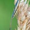Žaliapilvė kampuotblakė - Myrmus miriformis ♂ | Fotografijos autorius : Gintautas Steiblys | © Macrogamta.lt | Šis tinklapis priklauso bendruomenei kuri domisi makro fotografija ir fotografuoja gyvąjį makro pasaulį.