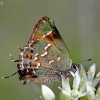 Kiparisinis varinukas - Callophrys gryneus | Fotografijos autorius : Deividas Makavičius | © Macrogamta.lt | Šis tinklapis priklauso bendruomenei kuri domisi makro fotografija ir fotografuoja gyvąjį makro pasaulį.