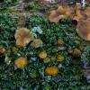 Lašelinis dakrimicis - Dacrymyces stillatus | Fotografijos autorius : Eglė Vičiuvienė | © Macrogamta.lt | Šis tinklapis priklauso bendruomenei kuri domisi makro fotografija ir fotografuoja gyvąjį makro pasaulį.