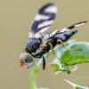 Daginė margasparnė | Thistle gall fly | Urophora cardui | Fotografijos autorius : Darius Baužys | © Macrogamta.lt | Šis tinklapis priklauso bendruomenei kuri domisi makro fotografija ir fotografuoja gyvąjį makro pasaulį.