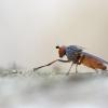 Diptera | Fotografijos autorius : Zita Gasiūnaitė | © Macrogamta.lt | Šis tinklapis priklauso bendruomenei kuri domisi makro fotografija ir fotografuoja gyvąjį makro pasaulį.