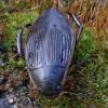 Dusia - Dytiscus dimidiatus ♀  | Fotografijos autorius : Romas Ferenca | © Macrogamta.lt | Šis tinklapis priklauso bendruomenei kuri domisi makro fotografija ir fotografuoja gyvąjį makro pasaulį.