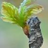 Dvijuostė drimonija - Drymonia ruficornis | Fotografijos autorius : Arūnas Eismantas | © Macrogamta.lt | Šis tinklapis priklauso bendruomenei kuri domisi makro fotografija ir fotografuoja gyvąjį makro pasaulį.