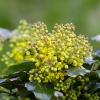 Dyglialapė mahonija | Oregon-grape | Mahonia aquifolium | Fotografijos autorius : Darius Baužys | © Macrogamta.lt | Šis tinklapis priklauso bendruomenei kuri domisi makro fotografija ir fotografuoja gyvąjį makro pasaulį.