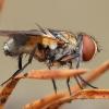 Dygliamusė - Ectophasia crassipennis ♀   Fotografijos autorius : Žilvinas Pūtys   © Macrogamta.lt   Šis tinklapis priklauso bendruomenei kuri domisi makro fotografija ir fotografuoja gyvąjį makro pasaulį.
