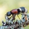 Europinė aksomvapsvė - Mutilla europaea | Fotografijos autorius : Oskaras Venckus | © Macrogamta.lt | Šis tinklapis priklauso bendruomenei kuri domisi makro fotografija ir fotografuoja gyvąjį makro pasaulį.