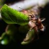 Formica rufa   Fotografijos autorius : Irenėjas Urbonavičius   © Macrogamta.lt   Šis tinklapis priklauso bendruomenei kuri domisi makro fotografija ir fotografuoja gyvąjį makro pasaulį.