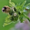 Gelsvalapė usnis - Cirsium oleraceum | Fotografijos autorius : Kęstutis Obelevičius | © Macrogamta.lt | Šis tinklapis priklauso bendruomenei kuri domisi makro fotografija ir fotografuoja gyvąjį makro pasaulį.